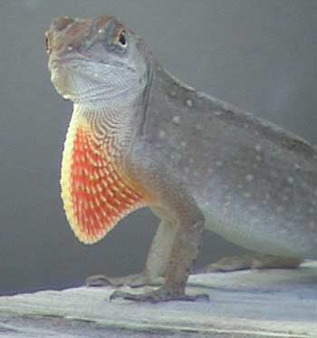Flagging Lizard