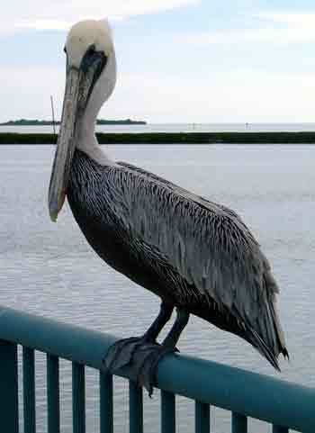 Pelican by the house