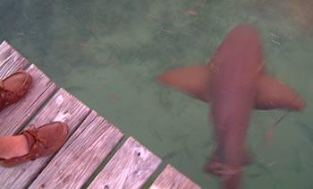Nurse Shark under Pier