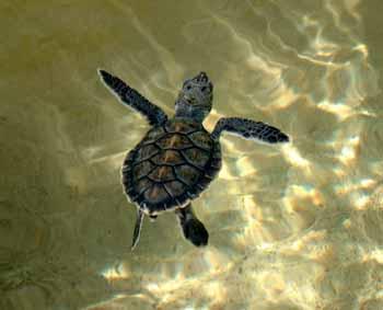 Baby Hawksbill Turtle