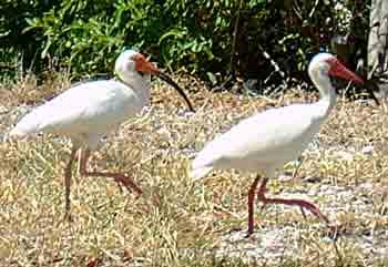 White Ibis in the garden