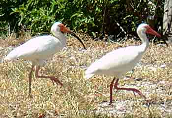 White Ibis in the garden
