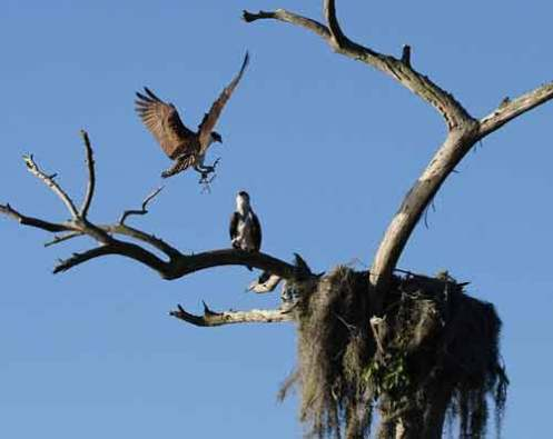 Ospreys on their nest