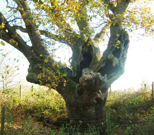 Oak at Cowgrove