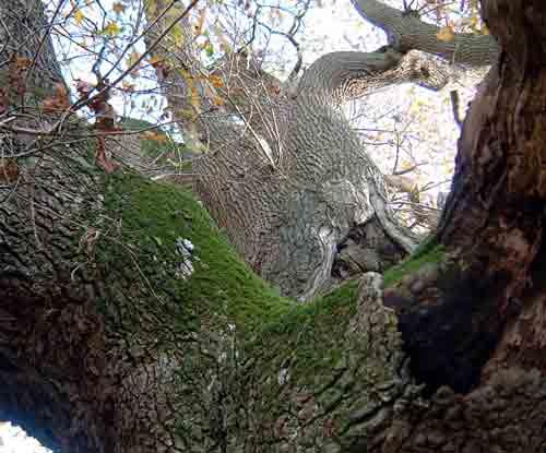 Oak at Cowgrove