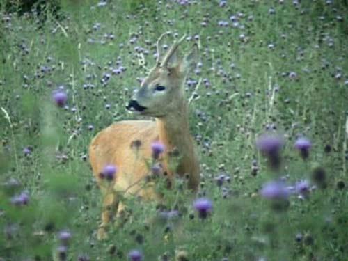 Deep in a field of purple knapweed
