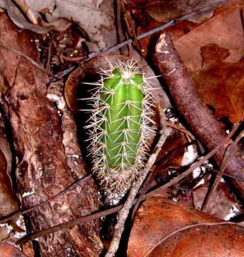 Cactus in the Woods