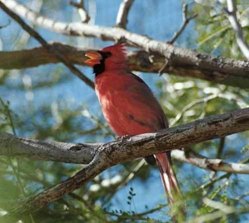 Northern Cardinal Finch