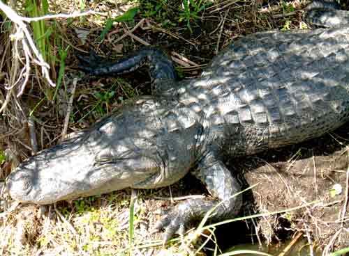 Alligator Everglades