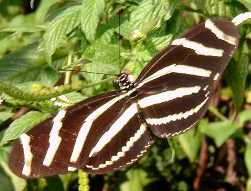 Zebra Longwing at Crane Point Florida Keys