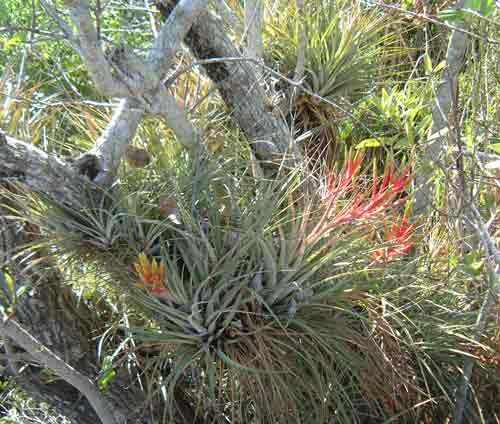 Everglades Airplants