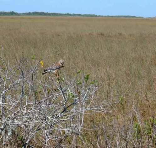 Everglades Red Shouldered Hawk