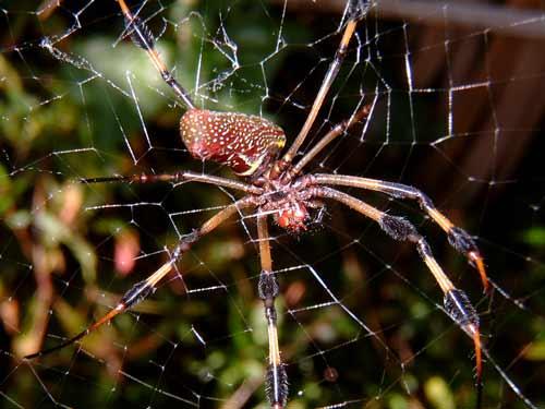 Golden Orb Spider Crane Point Florida