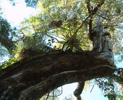 Mahogany Florida Everglades