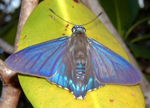 Blue Moth at Long Key