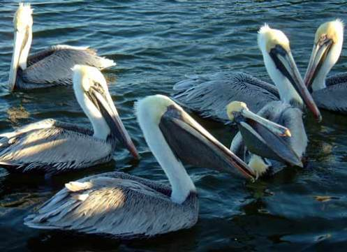 Pelican Youngsters