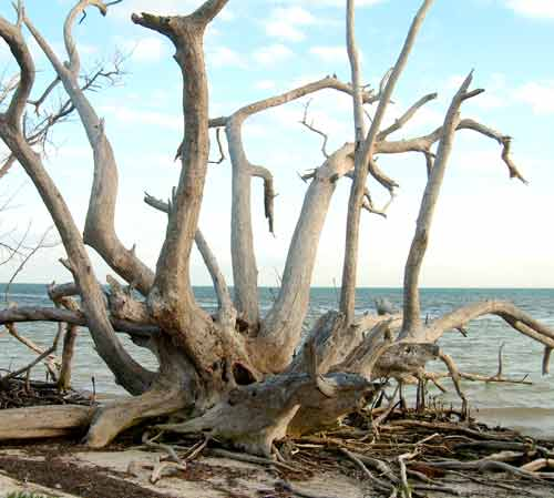 Dead Tree on Beach, Long Key