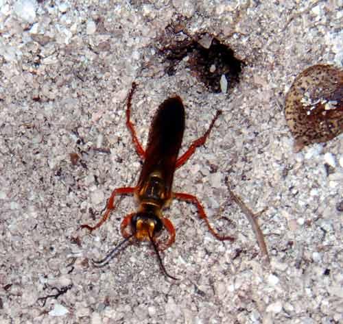 Red Digging Wasp, Long Key