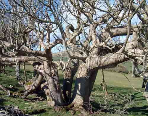 Kimmeridge Old Tree