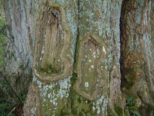 Old boughs