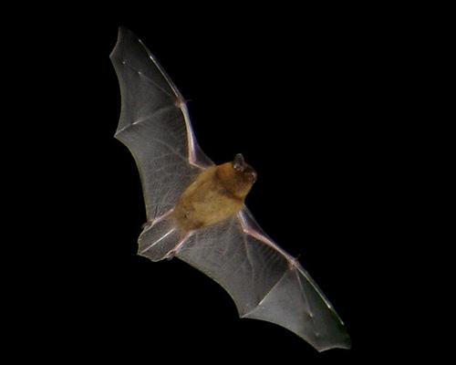 Pipistrelle Flying