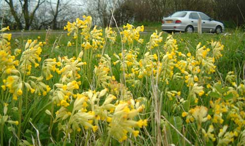 Cowslips by the road