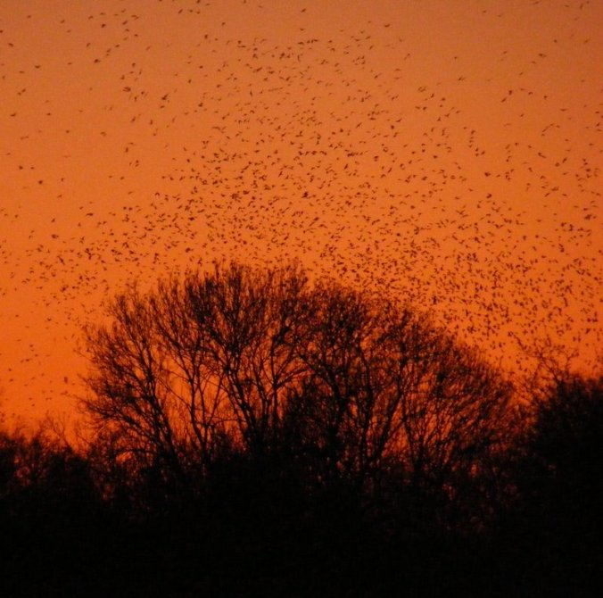 A massive flock of jackdaws