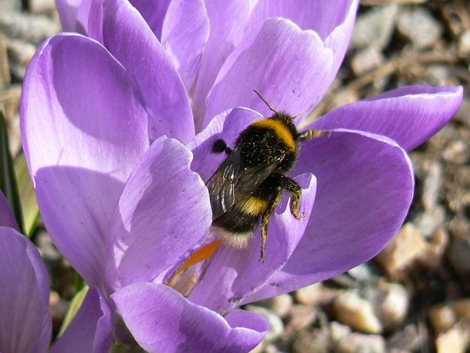Bombus Lucorum (White Tailed Bumblebee