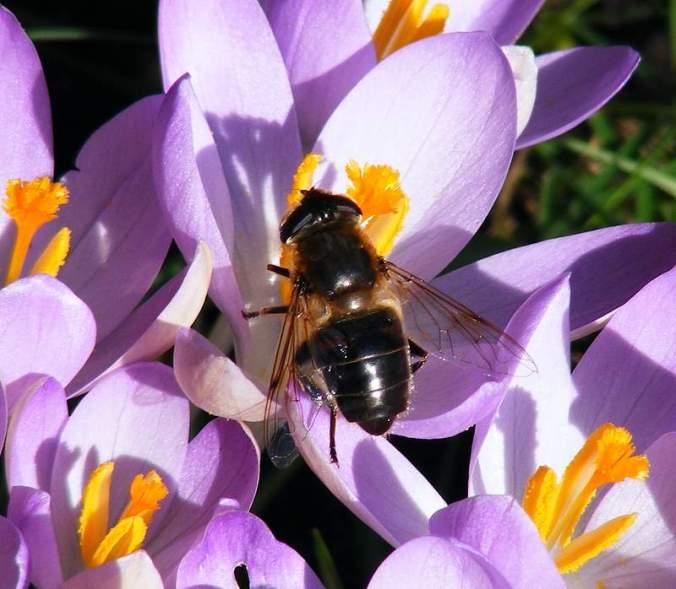 Eristalis tenax Dronefly (Hoverfly) Female