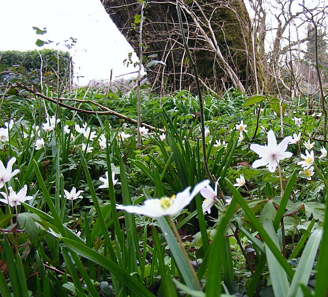 Wood Anemones with the Remedy Oak behind