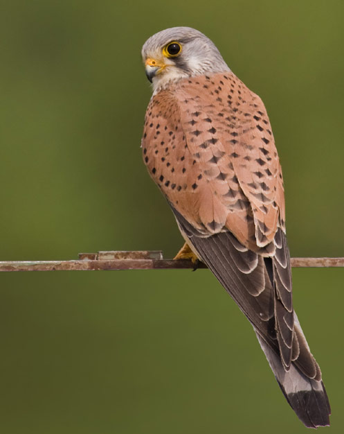 Common Kestrel, Male