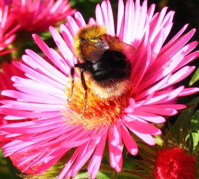 Bombus hortorum - Garden bumblebee 25-09-08