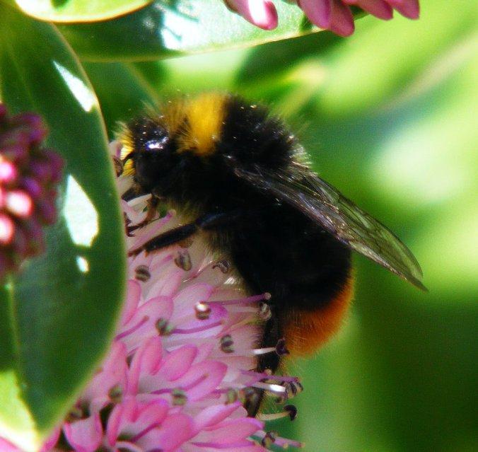 Bombus lapidarius - Red Tailed Bumblebee male-2