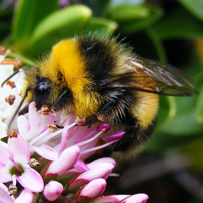 Bombus lucorum White Tailed Bumblebee male-1