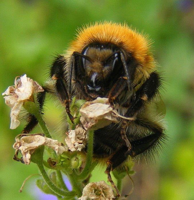 Bombus Pascuorum Common Carder Bee