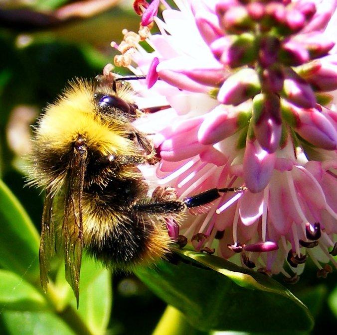 Bombus pratorum male Early Bumblebee