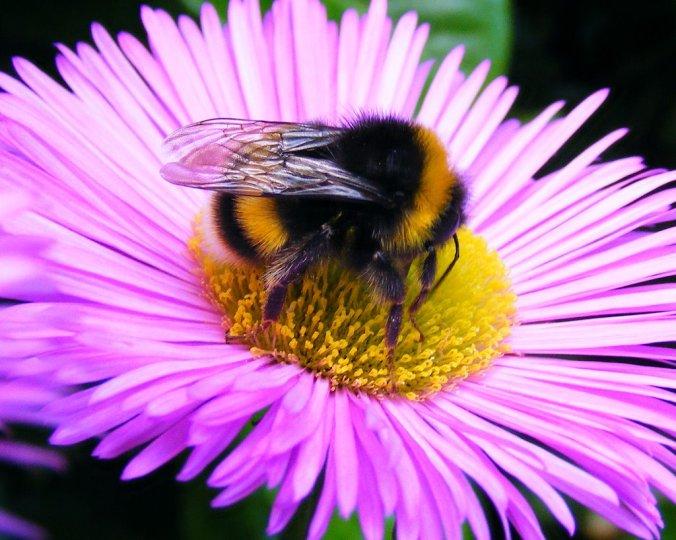 Bombus Terrestris Buff Tailed Bumblebee-1