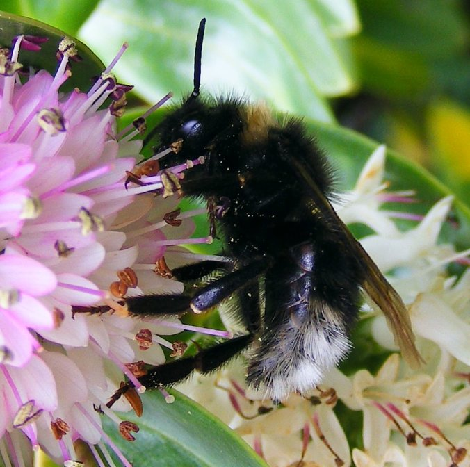 Vestal Cuckoo Bee Bombus vestalis 27-06-2009 13-27-38 27-06-2009 13-27-38