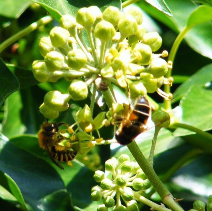 Pamphill bees  25-09-2009 12-18-16