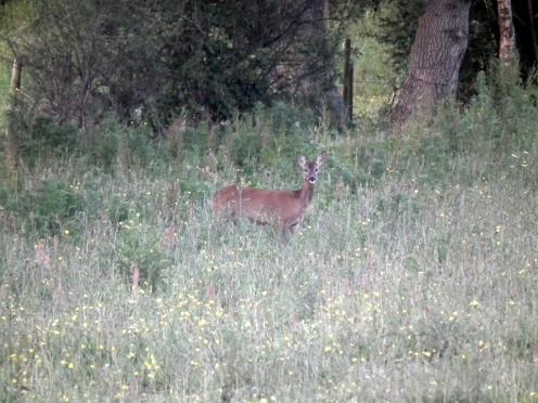 Roe deer-001
