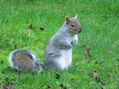 grey squirrel 04-01-2013 14-52-09