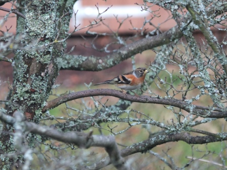 Brambling 23 January
