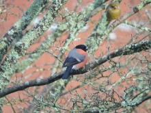 Bullfinch 23 January