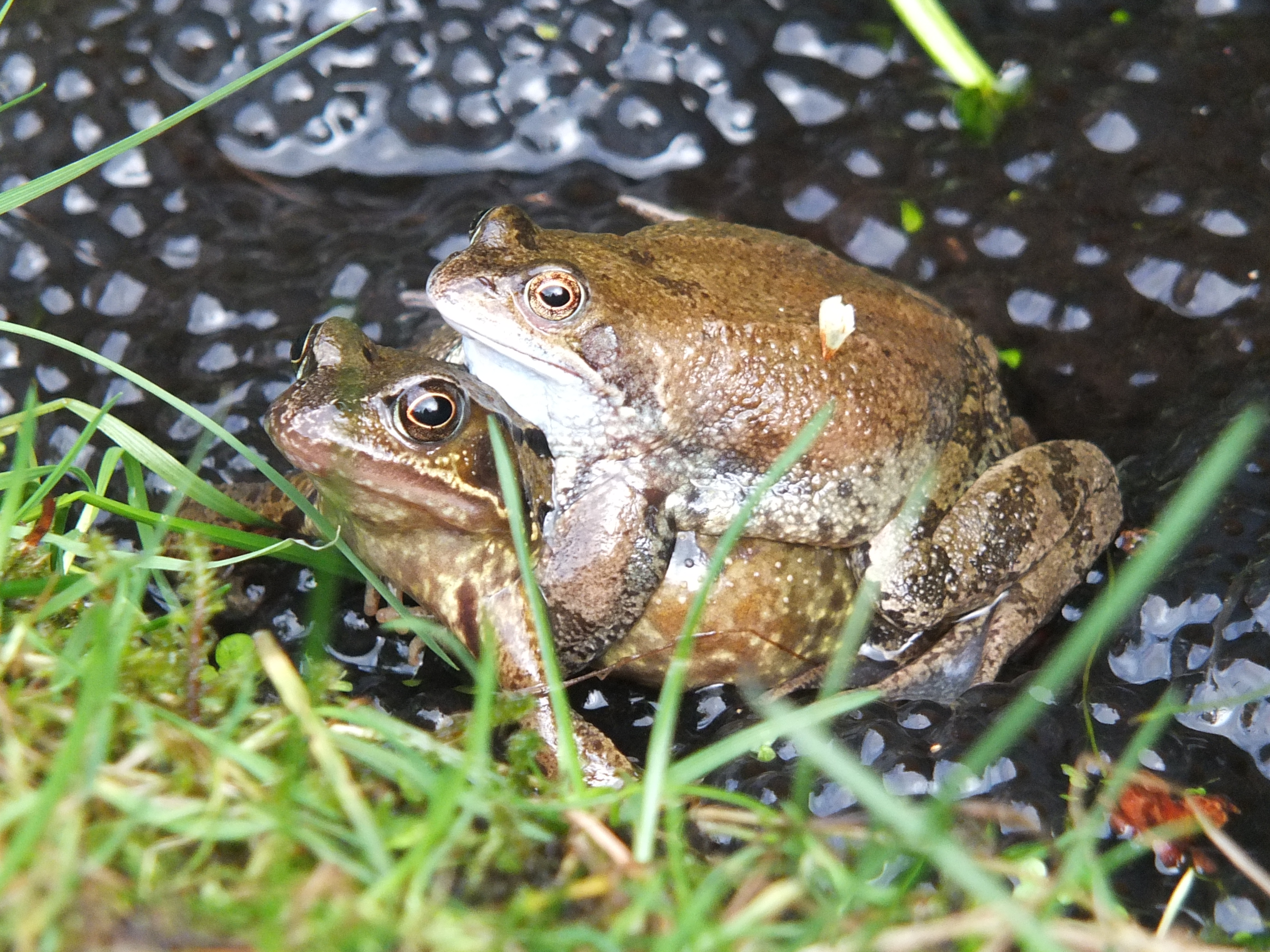 frogs 22 clumps of spawn in total in pond 20-02-2014 16-04-18NuthatchBrambling 23 JanuaryBrambling 23 JanuaryBullfinch 23 JanuarySnowdrops 4 FebruaryCyclamen 4 FebruaryMahonia 4 FebruaryCrocus 16 FebruaryFirst Bumblebee 16 FebruaryFrogs spawning 20 February