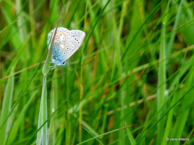 Common blue - a male I think
