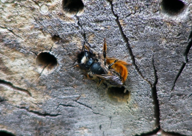 Mating Red Mason Bees - oooo errr!