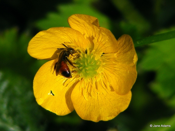 A Girdled mining bee hiding in a buttercup