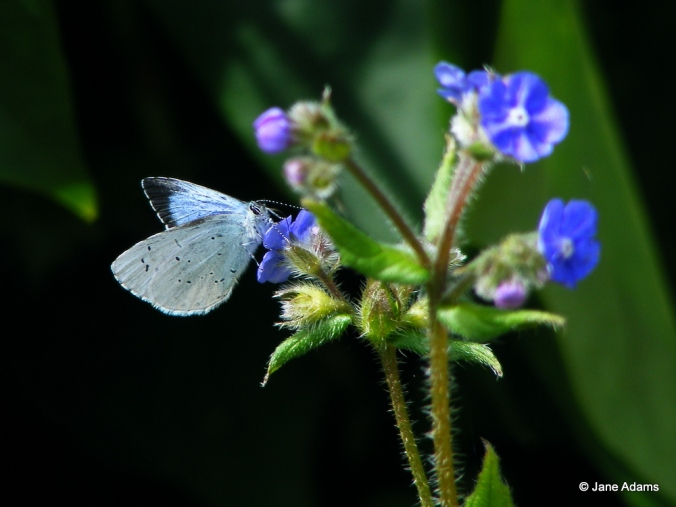 A Holly blue hanging onto the Green Alkanet for dear life!