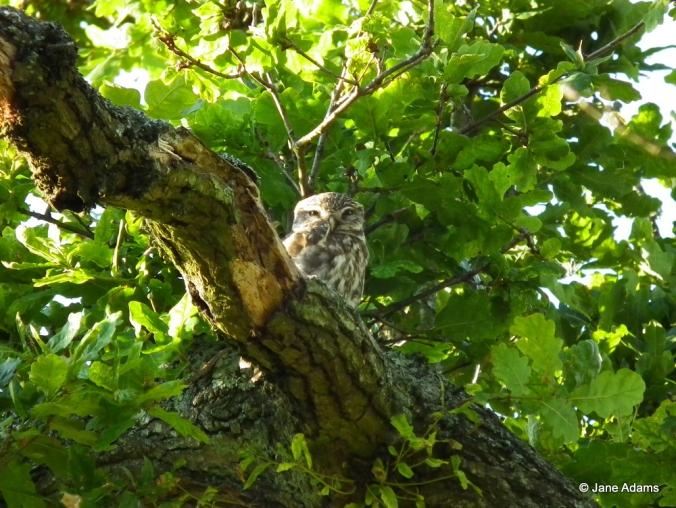 Grumpy little owl