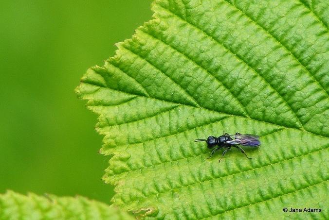 Mournful Wasp Pemphredon lugubris
